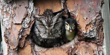 vfavpyyarvechanosplmrdiozhtl 700x366 360x180 - Американка заметила рядом со своим домом пернатую парочку. И этот утёнок — вовсе не обед для совы