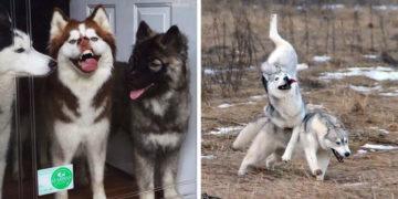 wqaexdhcfjyhgkvjhbkj 700x366 360x180 - 17 фотодоказательств того, что хаски — невероятно харизматичные собаки, с которыми невозможно соскучиться