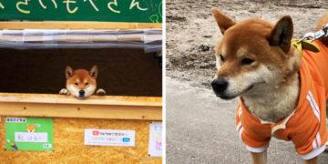 yvaypvyp 700x366 360x180 - Этот японский пёс породы сиба-ину продаёт жареный картофель и не даёт сдачу, потому что у него лапки