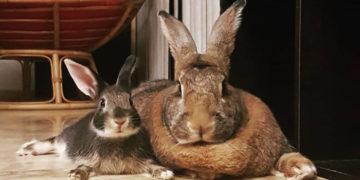 1 26 700x366 1 360x180 - Кролик Ромео весит в 4 раза меньше своей подружки. Но это не стало помехой их большой пушистой любви