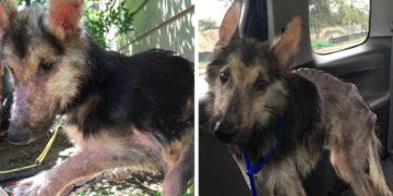 3 13 700x366 360x180 - Женщина помогла больному псу, который больше походил на чучело. И через 4 месяца его не узнать!