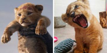 cfvuayaykpchverasnompgrlshodshh 700x366 360x180 - «Король лев» в жизни: Симбу срисовали с реального львёнка, и вот, как он (а точнее она) выглядит