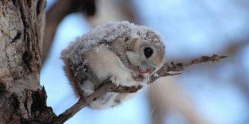 flyingsquirrel02 800x449 360x180 - 12 доказательств того, что белка-летяга — самый милый зверек на свете