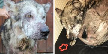 nkuenkun 700x366 360x180 - Этого больного и истощённого пса забрали от нерадивых хозяев. И теперь его шубке можно позавидовать