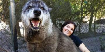 vyapvypvyp 700x366 360x180 - 7 лет назад волка по кличке Юки должны были усыпить. Но его спасли, и он стал настоящим красавцем