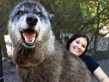 vyapvypvyp 700x366 360x270 - 7 лет назад волка по кличке Юки должны были усыпить. Но его спасли, и он стал настоящим красавцем