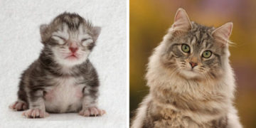 vyfaypraopmlridotl 700x366 360x180 - Фотограф показал взросление кошки в ускоренном виде, и вот как выглядит путь из детства в матёрость