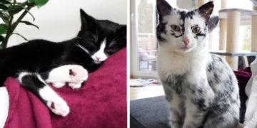 wertyukihlol 700x366 360x180 - Немка нашла двух чёрно-белых кошек и взяла их себе. Но через пару месяцев одна из них начала белеть