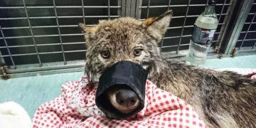 yvapvyapyvp 700x366 360x180 - Эстонские строители спасли из реки замёрзшую собаку и отвезли в клинику. Собака оказалась волком