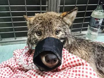 yvapvyapyvp 700x366 360x270 - Эстонские строители спасли из реки замёрзшую собаку и отвезли в клинику. Собака оказалась волком