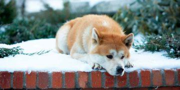 sobaka hatiko 360x180 - Тест: Угадайте известный фильм по собаке