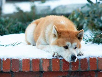 sobaka hatiko 360x270 - Тест: Угадайте известный фильм по собаке