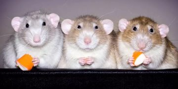1 k 1mini 360x180 - Вы не любите крыс? Вы просто не видели фото канадского дизайнера Дианы Оздамар