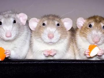 1 k 1mini 360x270 - Вы не любите крыс? Вы просто не видели фото канадского дизайнера Дианы Оздамар