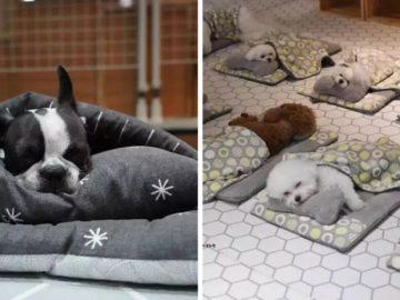 huo2hjrqtszcf9z203z1 360x270 - Как выглядит тихий час в детском саду для собак? Фото спящих щенков в кроватках поразили весь мир